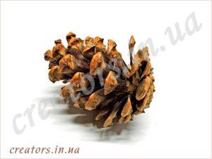 Шишка сосны крымской